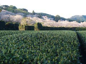 Sakura_r_2