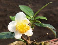 Tea_flower_1